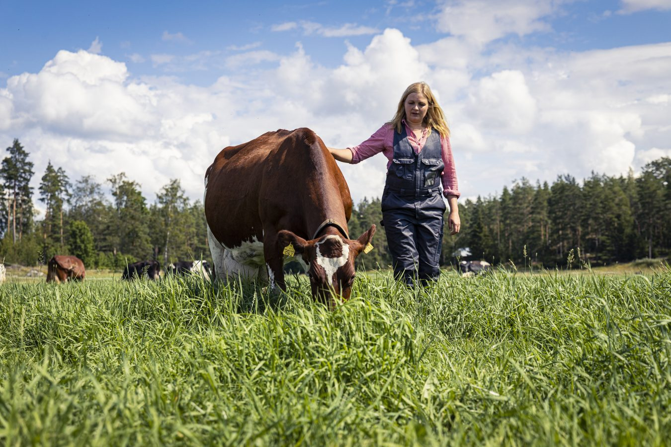 Betande ko på bete och kvinna.